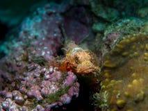 在珊瑚的石头鲈在水中 免版税库存照片