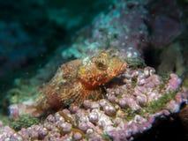 在珊瑚的石头鲈在水中 库存图片