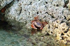 在珊瑚的红色螃蟹狩猎 库存图片