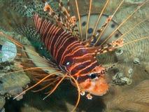 在珊瑚的蓑鱼 免版税图库摄影