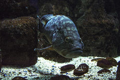 在珊瑚的蓝色鱼 免版税库存图片