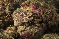 在珊瑚的被伪装的鱼在马尔代夫 免版税库存照片
