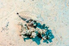 在珊瑚的被察觉的低音 库存照片