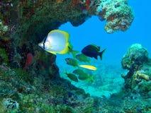 在珊瑚的蝴蝶鱼 免版税库存图片