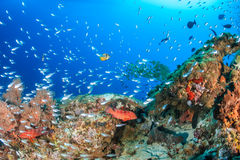 在珊瑚石峰附近的Glassfish群 免版税库存图片