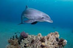 在珊瑚礁上的嬉戏的海豚游泳 免版税图库摄影