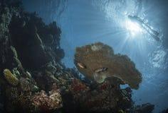 在珊瑚礁上的潜水者 免版税库存照片
