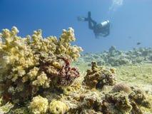 在珊瑚礁上的轻潜水员游泳-在水面下 库存照片
