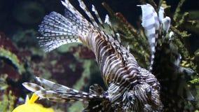 在珊瑚礁中的蓑鱼zebrafish水下的特写镜头 股票视频