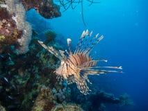 在珊瑚礁前面的蓑鱼游泳 库存图片