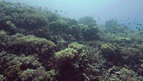 在珊瑚礁和海草的一点鱼游泳在海底水中视图 影视素材