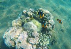 在珊瑚礁和海葵属附近的热带鱼小丑 在海葵属的Clownfish家庭 免版税库存图片