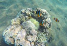 在珊瑚礁和海葵属附近的热带鱼小丑 在海葵属的Clownfish 库存图片