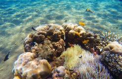 在珊瑚礁和海葵属附近的热带鱼小丑 珊瑚鱼横向礁石热带水中 库存照片