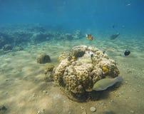 在珊瑚礁和海葵属附近的热带鱼小丑 免版税库存照片