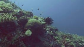 在珊瑚礁和鱼游泳的水下的看法海草在蓝色海水 影视素材