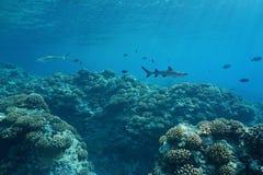 在珊瑚礁太平洋的水下的海景海洋生活 免版税图库摄影