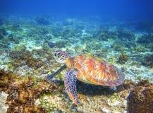 在珊瑚礁形成的绿浪乌龟 异乎寻常的海岛的热带海本质 库存图片