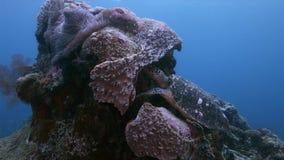 在珊瑚礁的乌龟在王侯Ampat印度尼西亚4k 影视素材