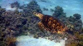 在珊瑚礁的乌龟游泳 股票录像