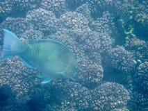 在珊瑚礁的五颜六色的鱼在阿曼海16 库存照片