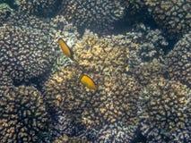 在珊瑚礁的五颜六色的鱼在阿曼海13 免版税库存照片