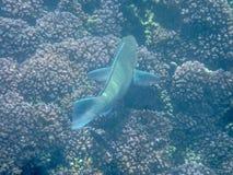 在珊瑚礁的五颜六色的鱼在阿曼海17 库存图片