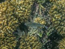 在珊瑚礁的五颜六色的鱼在阿曼海14 免版税库存图片