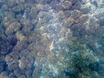 在珊瑚礁的五颜六色的鱼在阿曼海12 库存图片