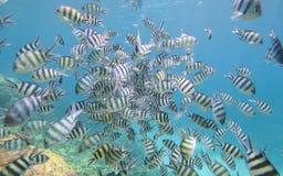 在珊瑚礁的军士长雀鲷浅滩  免版税图库摄影