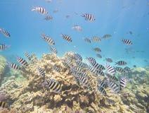 在珊瑚礁的军士长雀鲷浅滩  免版税库存图片