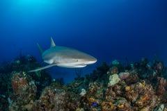 在珊瑚礁的加勒比礁石鲨鱼游泳在巴哈马 免版税库存照片