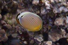 在珊瑚礁的卵形蝴蝶鱼 免版税库存照片
