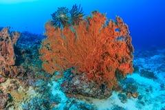在珊瑚礁的大海底扇 图库摄影
