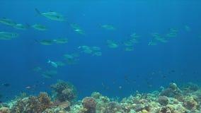 在珊瑚礁的大眼鲷Trevallies 免版税库存照片