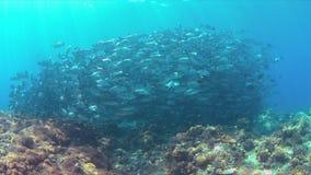 在珊瑚礁的大眼鲷Trevallies 库存图片