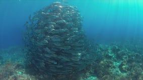 在珊瑚礁的大眼鲷Trevallies 库存照片