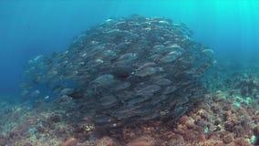 在珊瑚礁的大眼鲷Trevallies 免版税库存图片