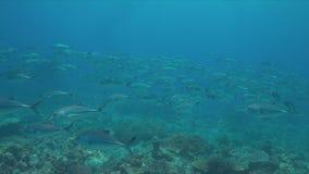 在珊瑚礁的大眼鲷Trevallies 股票录像