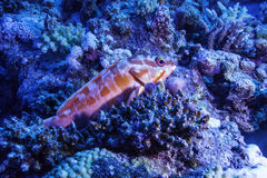 在珊瑚礁的小石斑鱼 库存图片