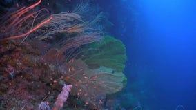 在珊瑚礁的巨大的海底扇 股票录像