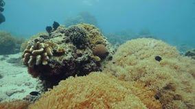 在珊瑚礁的异乎寻常的鱼游泳在海底水下的视图 观看美丽的鱼和珊瑚礁的轻潜水员  股票视频