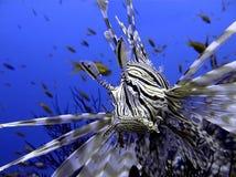 在珊瑚礁的恼怒的蓑鱼在红海 免版税库存照片