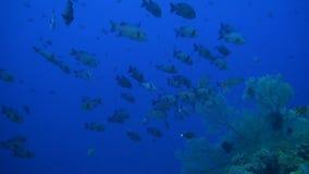 在珊瑚礁的攫夺者 股票视频