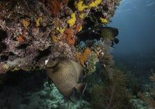 在珊瑚礁的法国神仙鱼 免版税库存照片