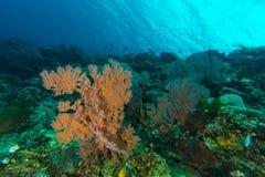 在珊瑚礁的海底扇 免版税库存图片