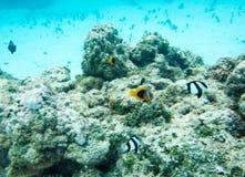 在珊瑚礁的海洋生活:新喀里多尼亚 库存图片