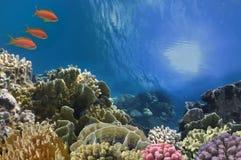 在珊瑚礁的热带鱼在红海 图库摄影