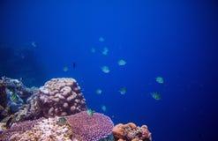 在珊瑚礁的热带鱼Dascillus 水下的照片 海鱼 在狂放的自然的水族馆鱼 免版税库存图片