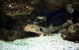 在珊瑚礁的猫鲨鱼鱼 免版税库存照片